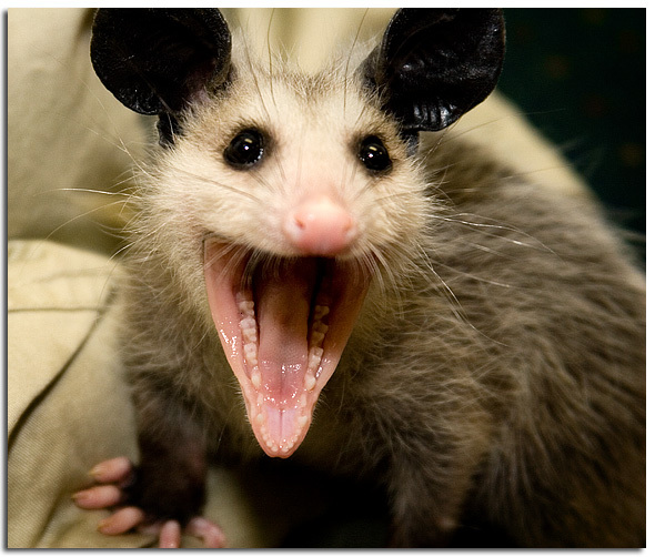 Possum smile